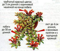 ЭСХИНАНТУС (AESCHYNANTUS)