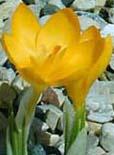 Крокусы (шафран)