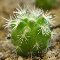 Mammillaria densispina (J. M. Coulter 1894) Orcutt 1926