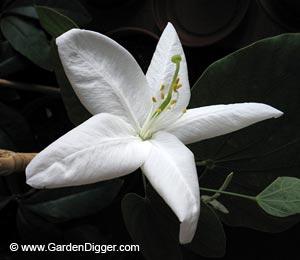 Баухиния заостренная (Bauhinia acuminata)