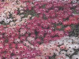Хрустальная трава, мезембриантемум, criniflorum