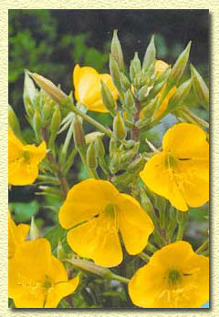 ������� ���������, Oenothera drummondii.