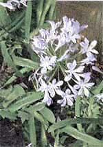 Агапантус (Африканская лилия) Agapanthus