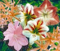 Амариллисовые Amaryllidaceae
