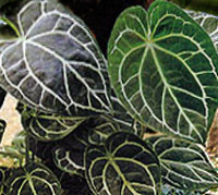 Антуриум Anthurium
