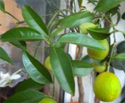 Апельсин Citrus sinensis