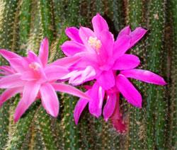 Апорокактус Aporocactus