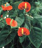 �������� Araceae