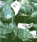 Ароидные Araceae