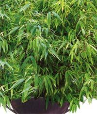 ������ Bambusa