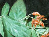 Бегония сизолистная Begonia glaucophylla