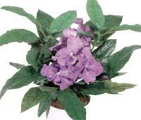 ����������� Brunfelsia