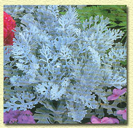 Цинерария серебристая.   Cineraria maritima.