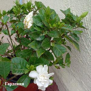 �������� Gardenia