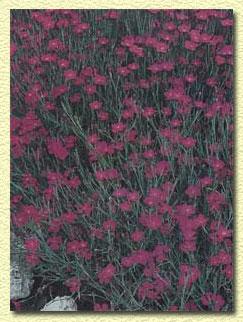 Гвоздика китайская, Diantus chinensis.