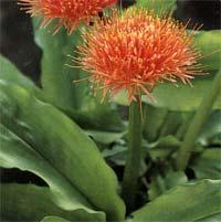 Гемантус Haemanthus