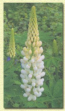 Люпин, Lupinus polyphyllus.