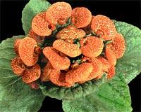 Кальцеолярия Calceolaria