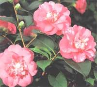 Камелия Camellia