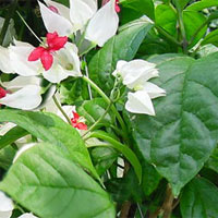 ������������ Clerodendrum