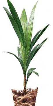 Кокос Cocos