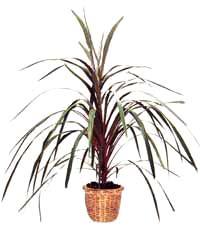��������� ����� ��� ������������� Cordylin� australis