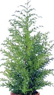 Кипарис Cupressus