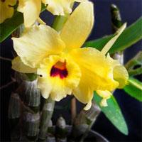 Дендробиум Dendrobium