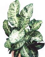 Диффенбахия пятнистая Dieffenbachia maculata