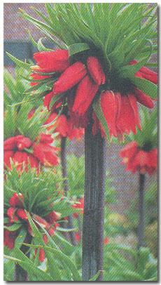 Рябчик - фритиллярия   Fritillaria