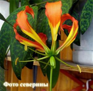 Глориоза Gloriosa