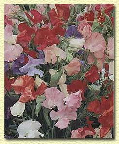Горошек душистый, Lathyrus odoratus.