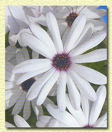������������, Osteospermum ecklonis.