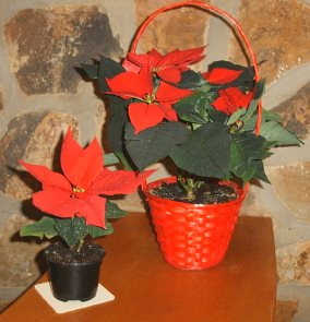 ������� ����������� (Euphorbia pulcherrima, ����������)