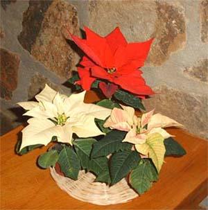 Молочай красивейший (Euphorbia pulcherrima, пуансеттия)