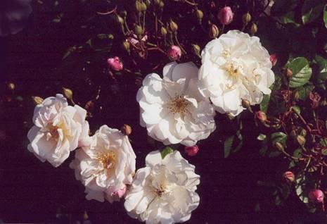 Роза Вечнозеленая