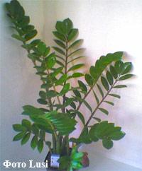 Цветок с большими круглыми листьями 94
