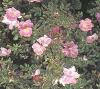 Ботанические розы