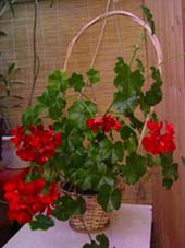 Семейство гераниевых (Geraniaceae)