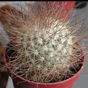 Mammillaria rekoi ssp. leptacantha