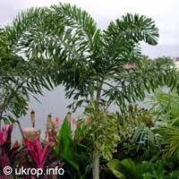 Пальма Лисий хвост (Wodyetia bifurcata)