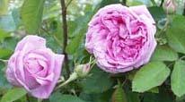 Старинные розы