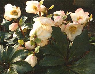 Рождественская роза (Helleborus, морозник)