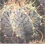 Астрофитум Astrophytum