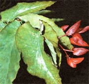 Бегония ярко-красная Begonia coccinea