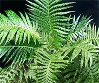 Блехнум Blechnum)%</div>><br /> <br /> Семейство дербенниковых. Родина - Южная Америка. В природе насчитывают около 200 видов. <br /> <br /> Блехнум горбатый Blechnum gibbum - в природе это крупное похожее на пальму растение с ваями достигающими 1 м в длину. Стебель папоротника представляет собой видоизмененное корневище, у старых растений в комнатных условиях достигает в высоту около 50см, покрыто бурыми чешуйками. Ваи его единождыперисто-рассеченные около 50-60 см длиной, светло-зеленого цвета. Спорангии на нижней стороне листа, ближе к краю сегментов