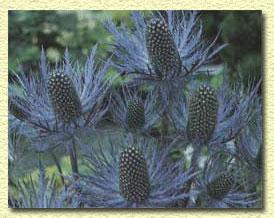 Синеголовик альпийский, Eryngium alpinum.