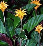 Калатея шафранная Calathea crocata