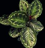 Калатея раскрашенная Calathea picta