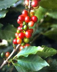 Кофе Coffea